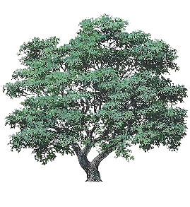 Oak tree stimulus as used by Watanabe, Lea, Ryan and Ghosh