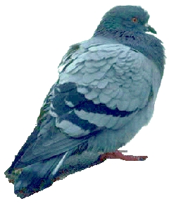 pigeon image as used by Watanabe, Lea, Ryan and Ghosh